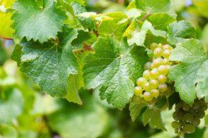 ワイン会 リースリング